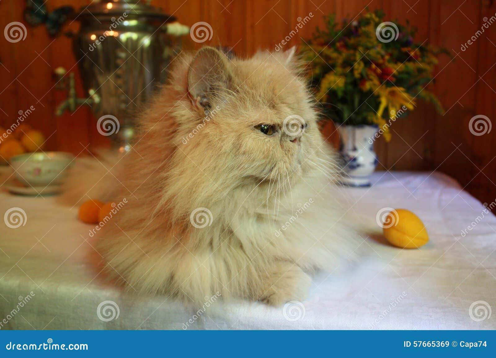Persische erwachsene Katze