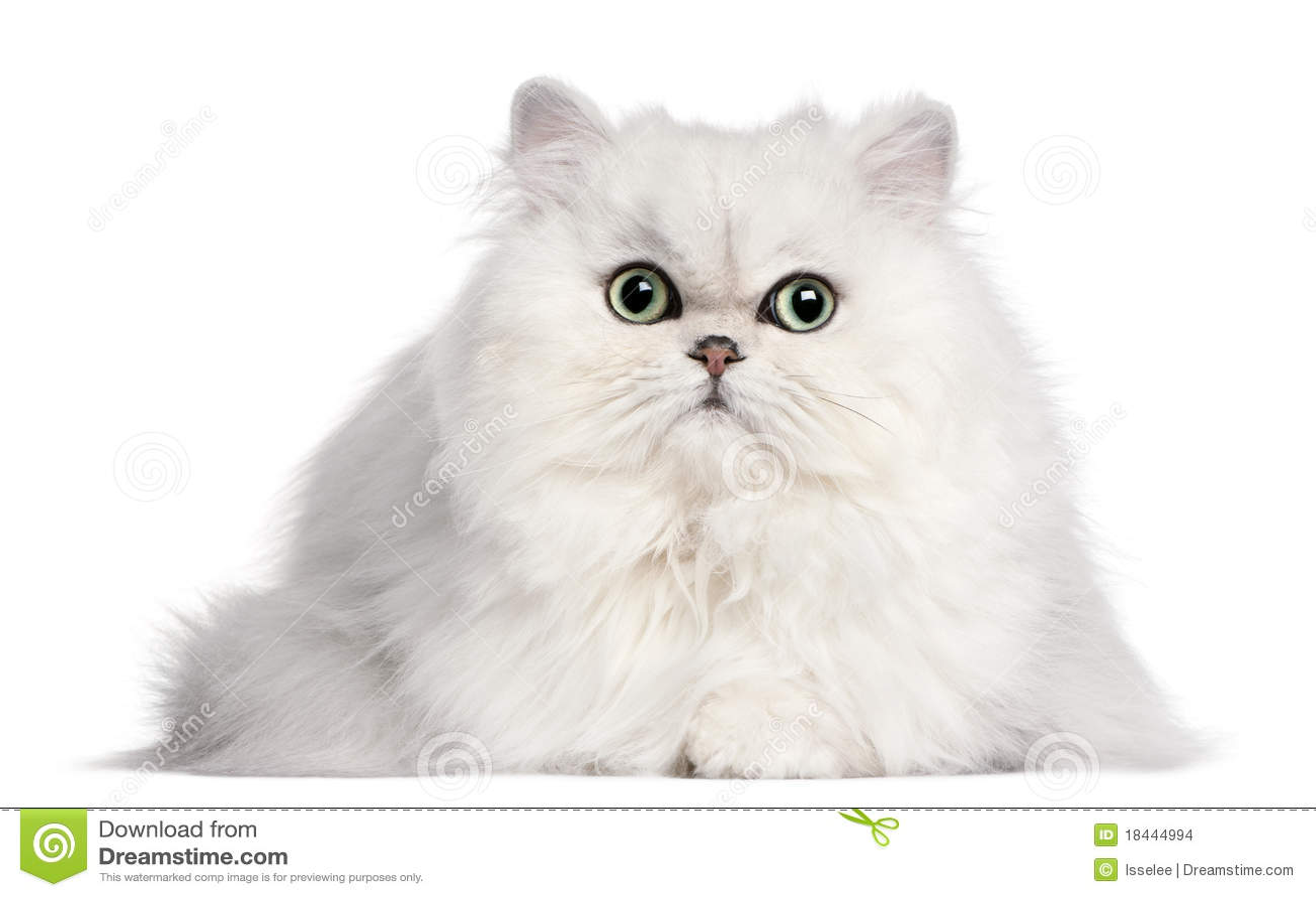 Persische Katze, 2 Jahre alt