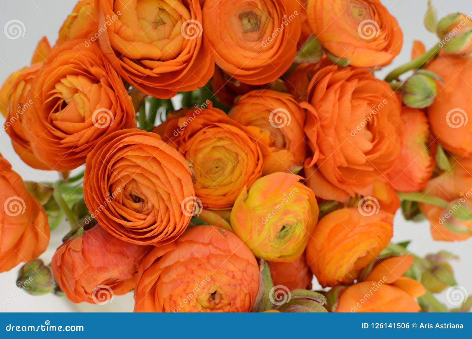 Persisk buttercup Blommar den bleka orange ranunculusen för gruppen ljus bakgrund