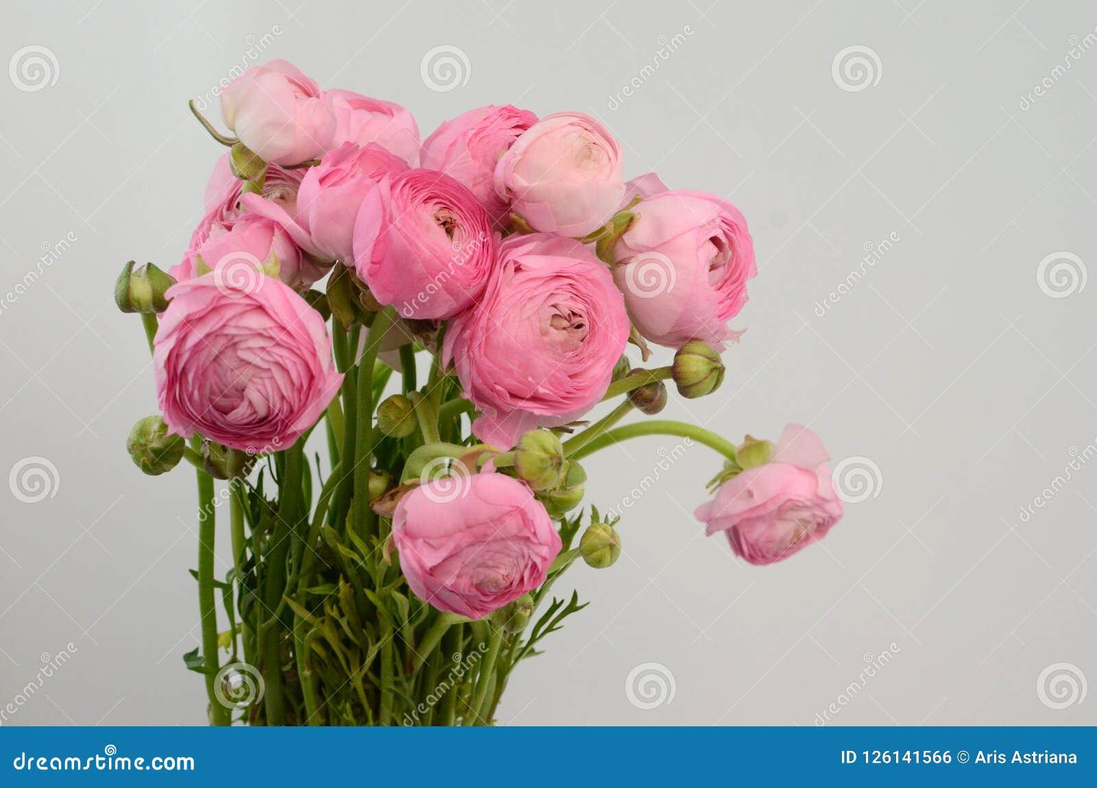 Persisk buttercup Gruppgräns - den rosa ranunculusen blommar ljus bakgrund