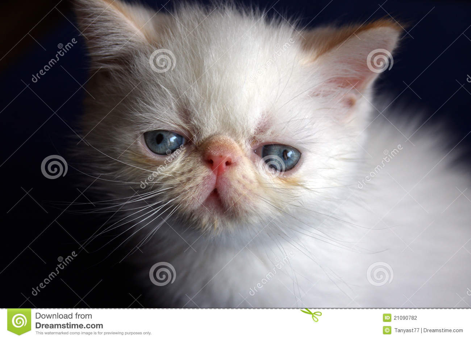 Persisk white för kattunge