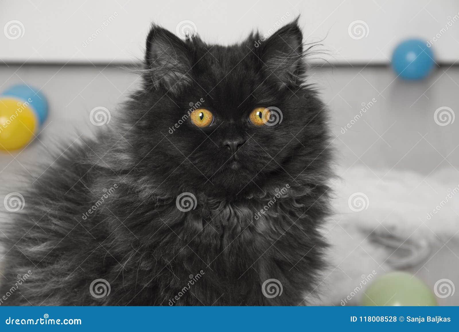 Perski Czarny Kot Z żółtymi Oczami Zdjęcie Stock Obraz Złożonej Z