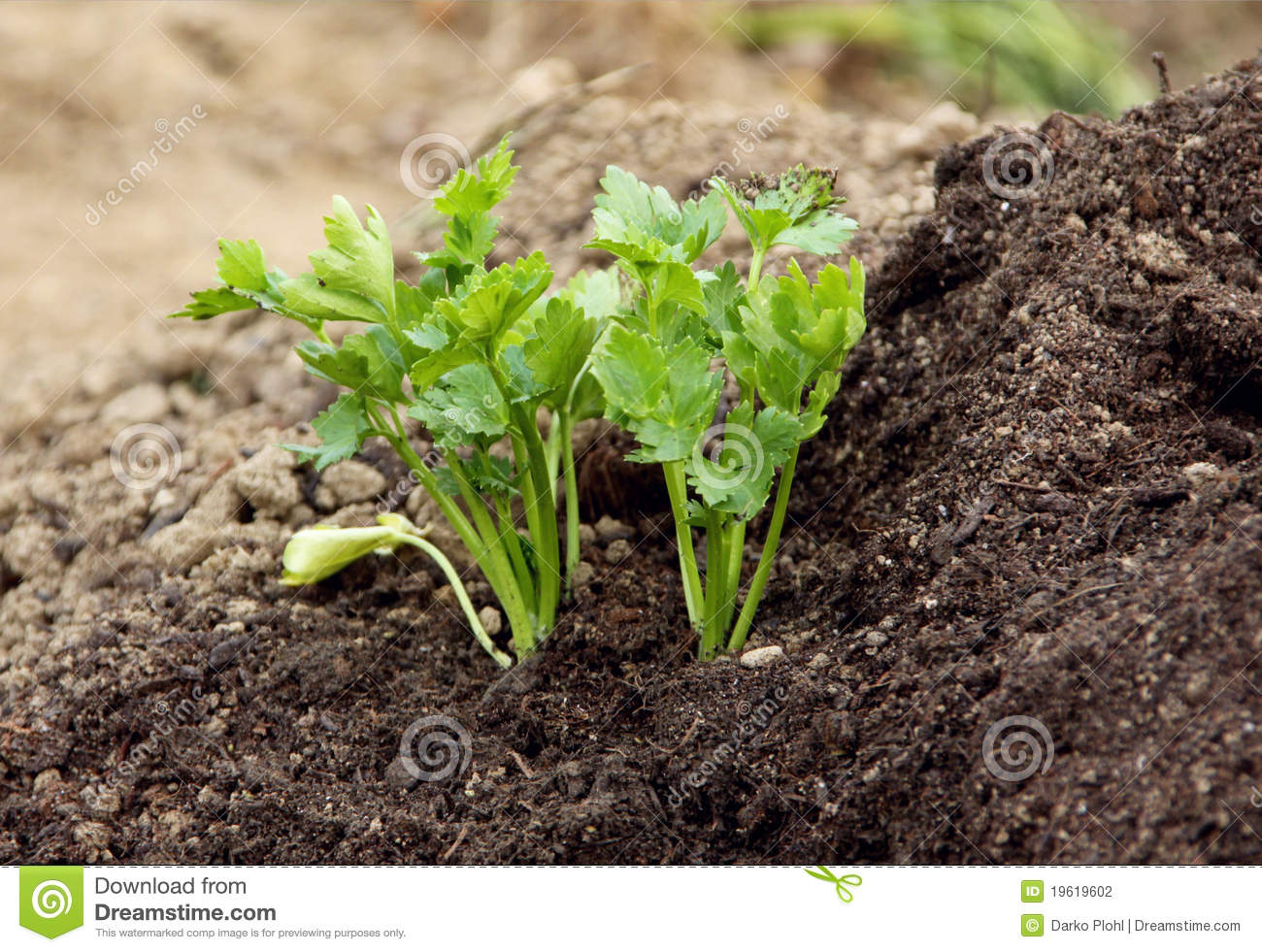 Persley plant and garden soil stock photo image 19619602 for Soil for plants
