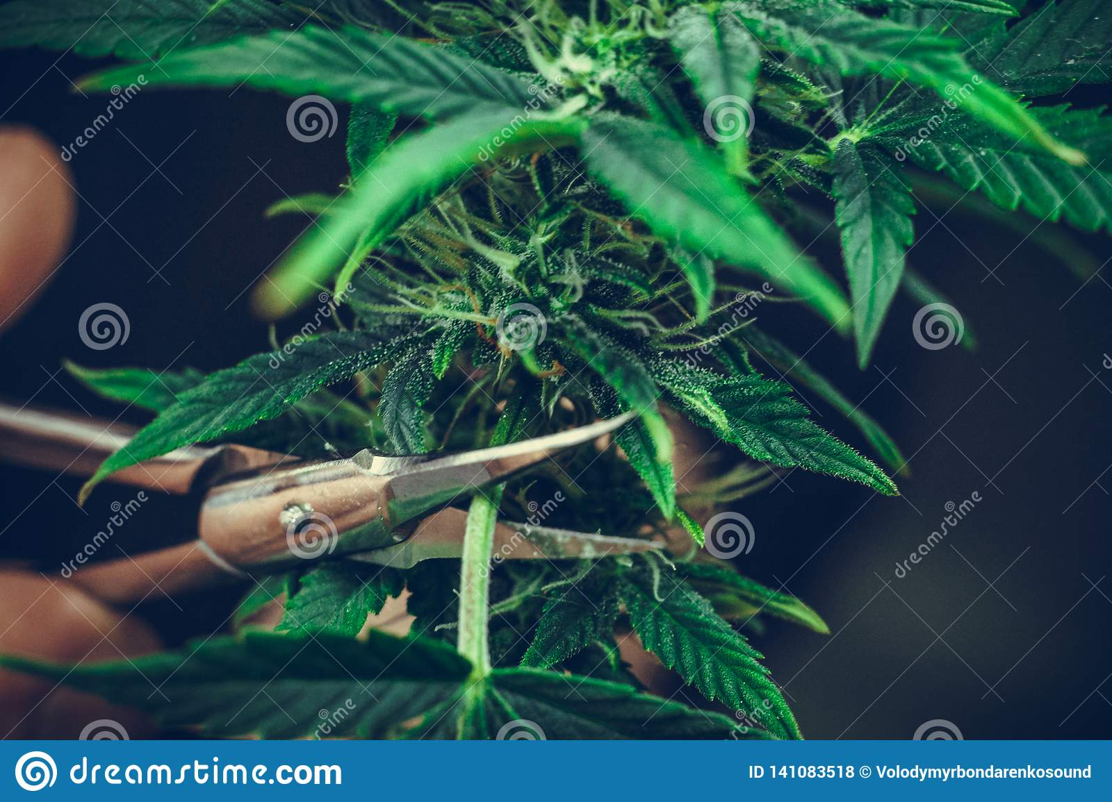 The person trimming leaves of medical marijuana plant close-up. Cannabis plant growing indoor
