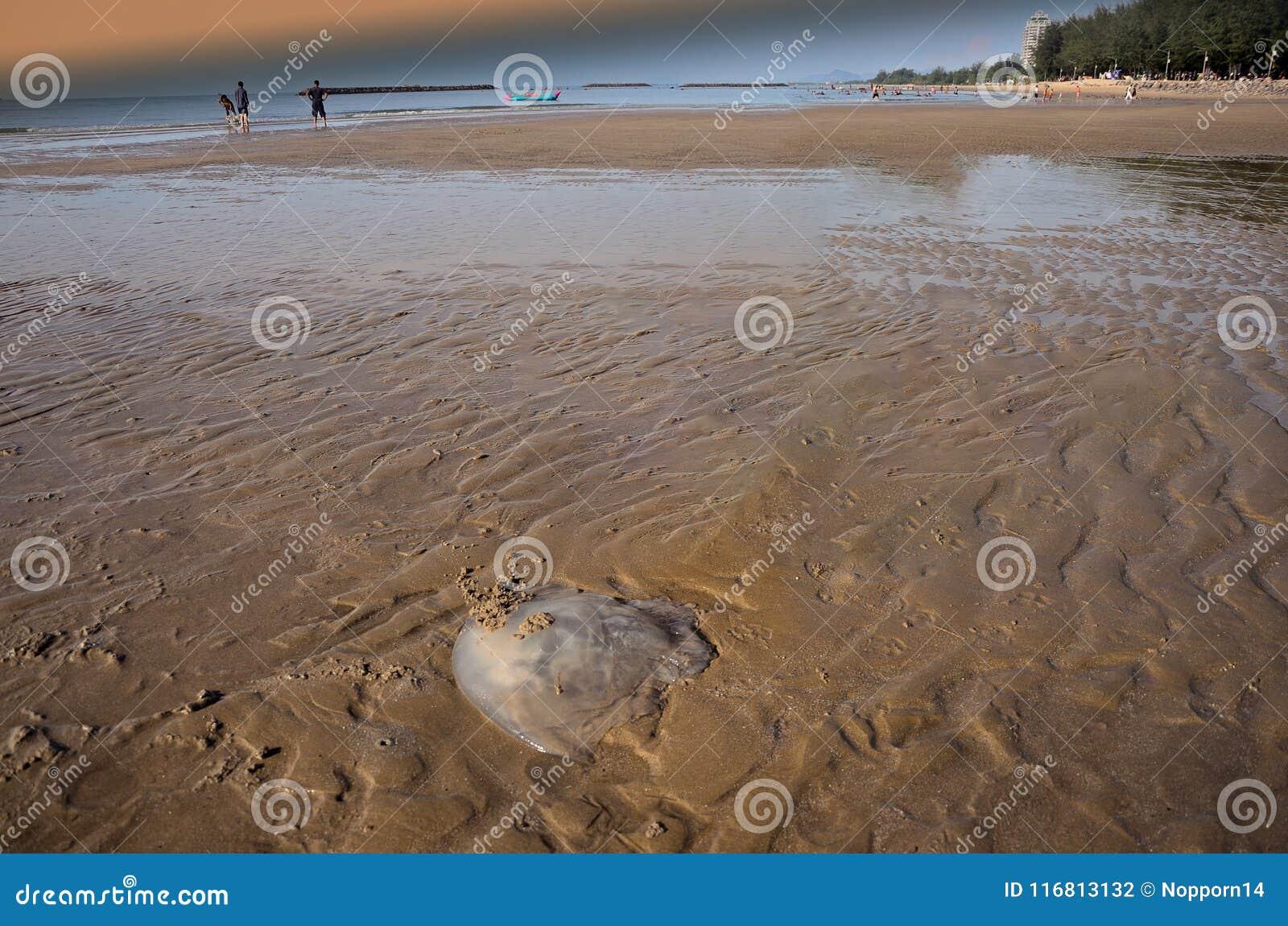 Persona che esamina le meduse di rhopilema nomadica la spiaggia Questo genere di meduse ha filamenti vermicular con la puntura ve