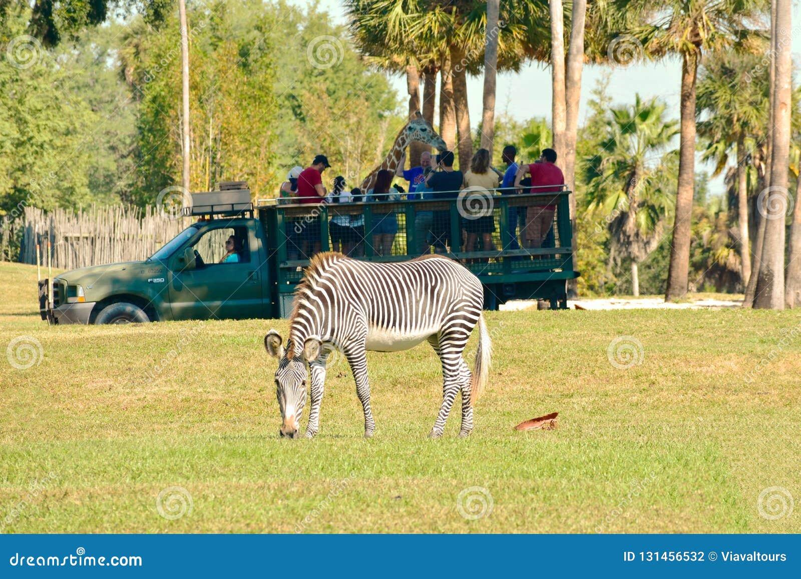 Persona que juega la jirafa en el safari de Serengeti En el primero plano vemos una cebra agradable en el jardín de Bush