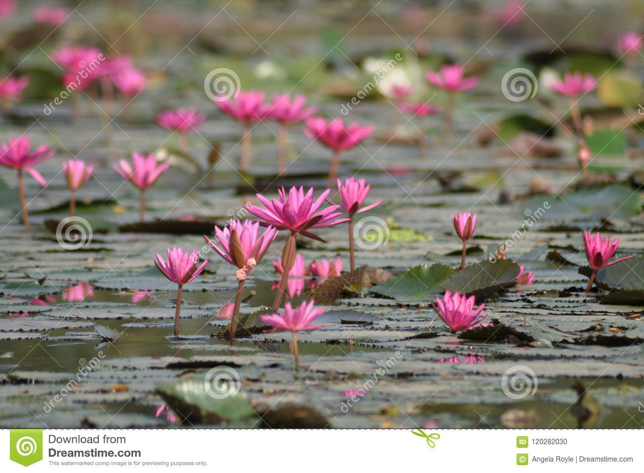 Perspective view of pink water lilies