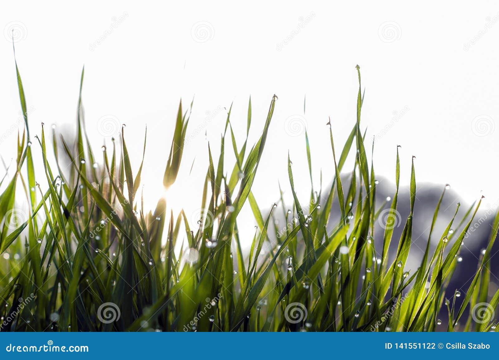 Perto acima, macro de gotas de orvalho nas lâminas da grama fresca, raios da manhã do sol, economia da água e conceito verde, pla