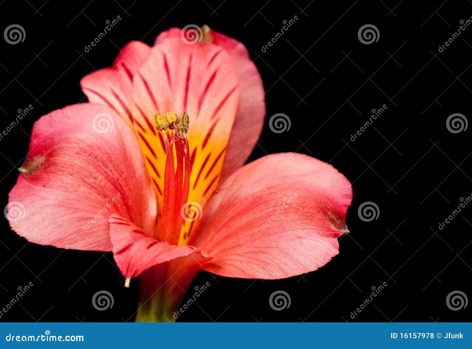 Peruansk red för lilja