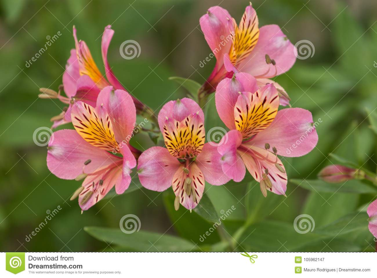 Peruvian Lily Alstroemeria Stock Image Image Of Leaf Bright 105962147
