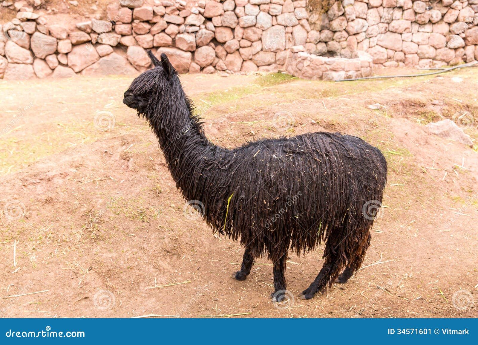 Peruvian Llama Farm Of Llama Alpaca Vicuna In Peru South