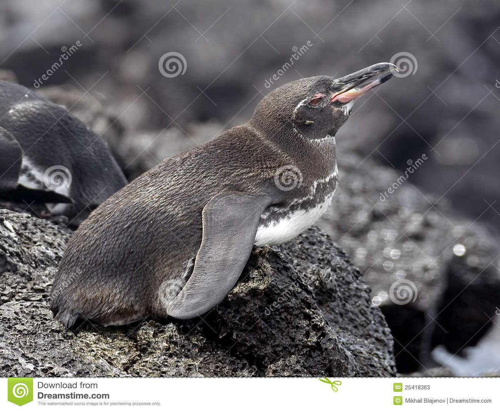 Peruvian penguin 3