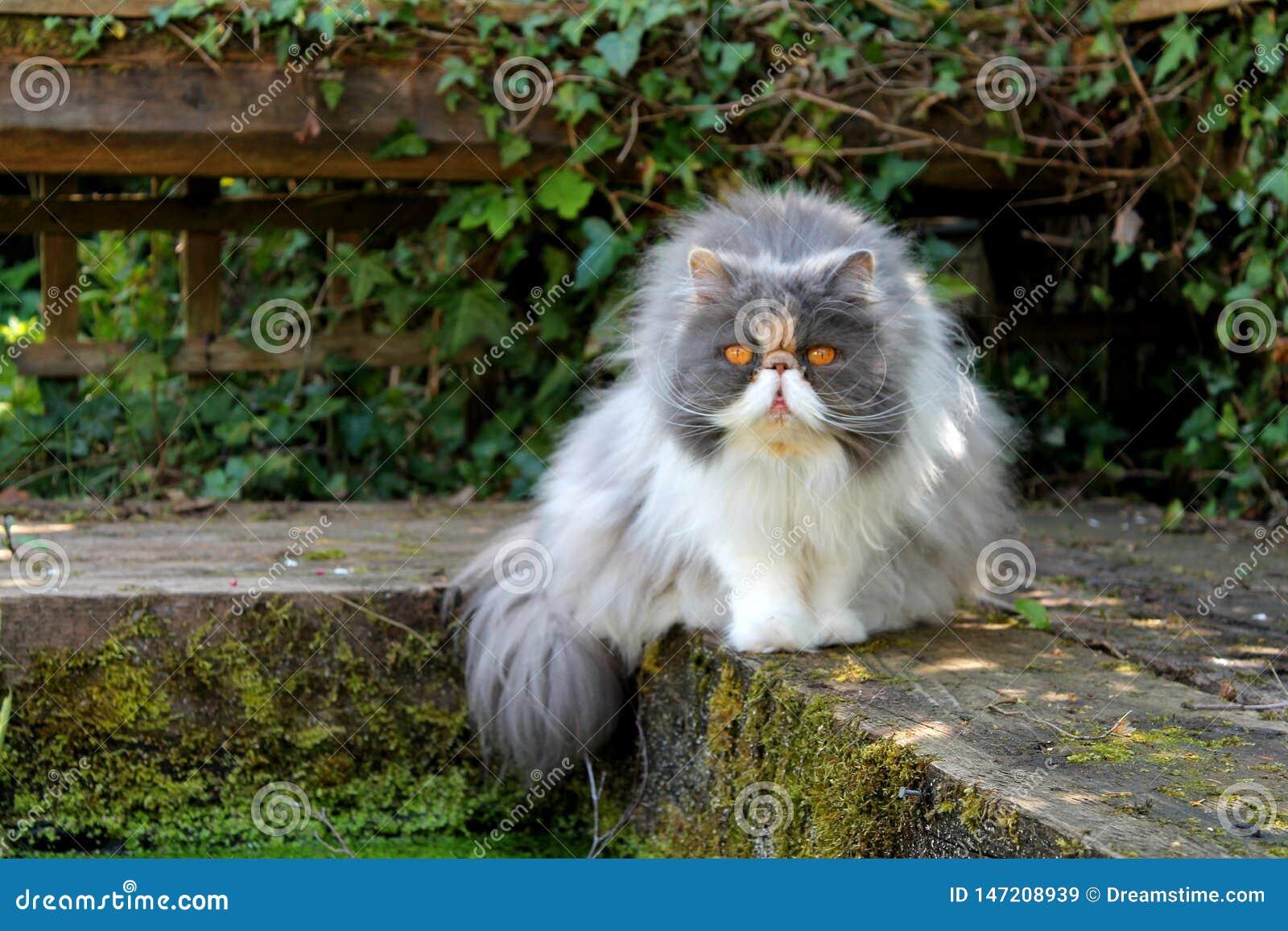 Perzische kat door Vijver