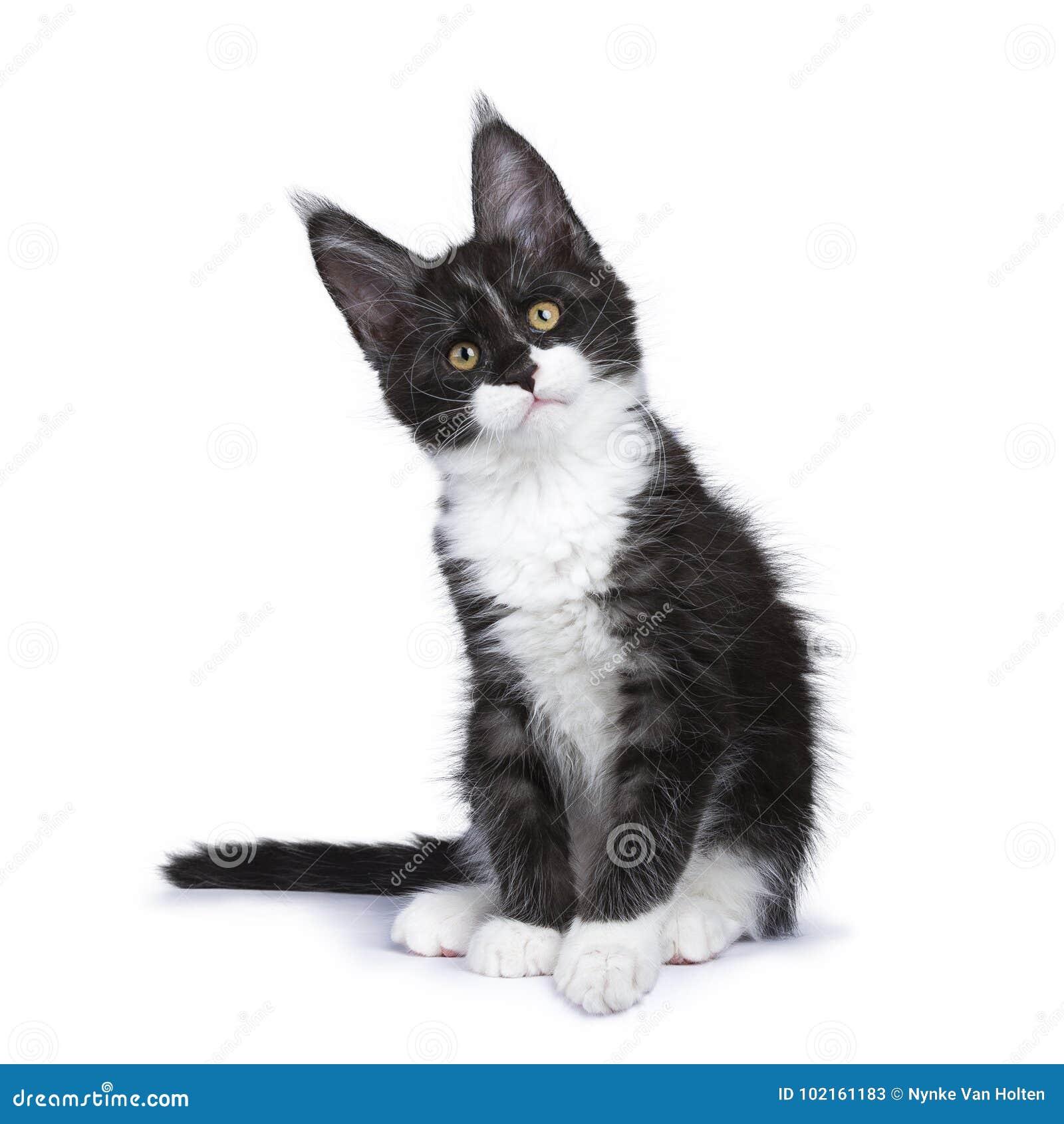 Perzische katjeszitting die vooruit recht kijken