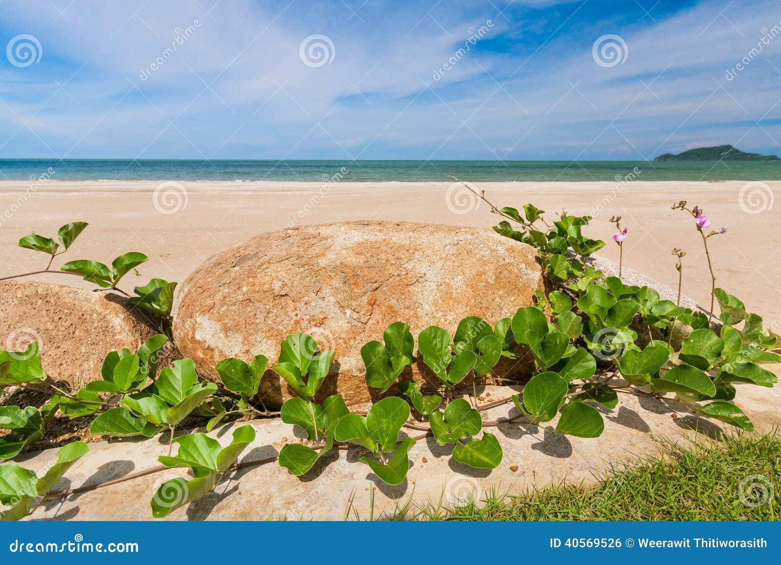Pes-caprae y piedra del Ipomoea