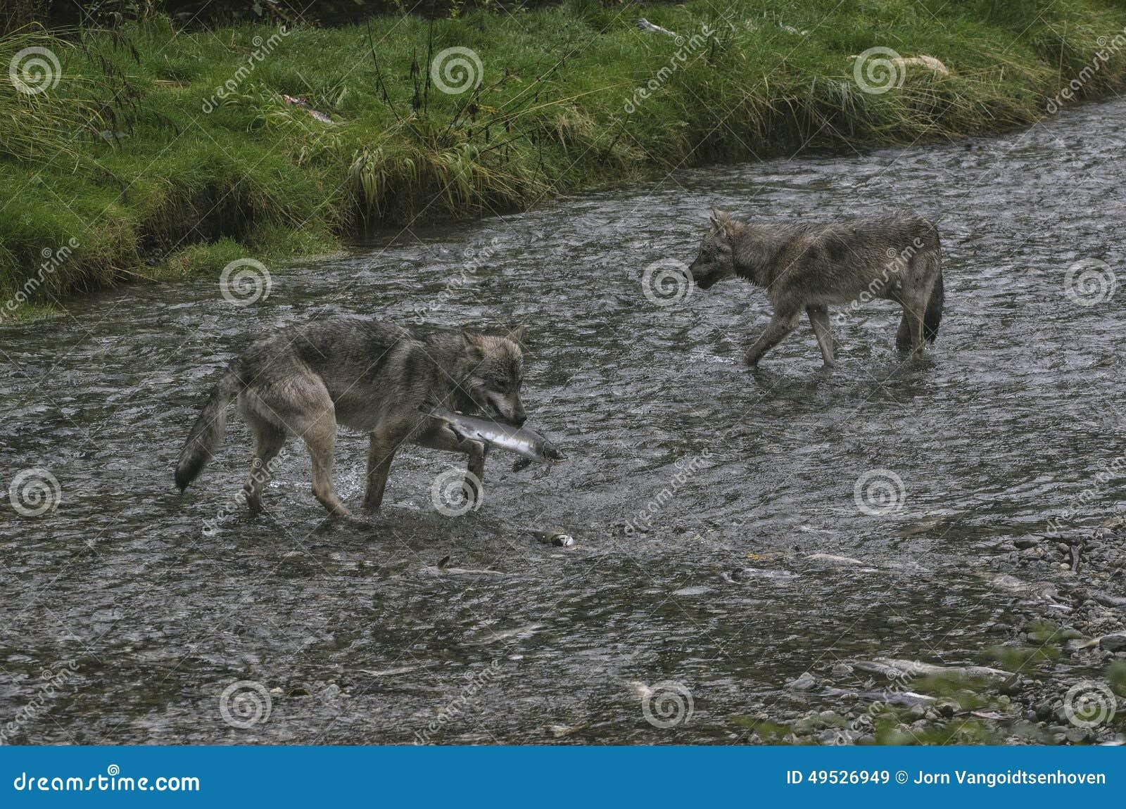 Pesca costera de los lobos