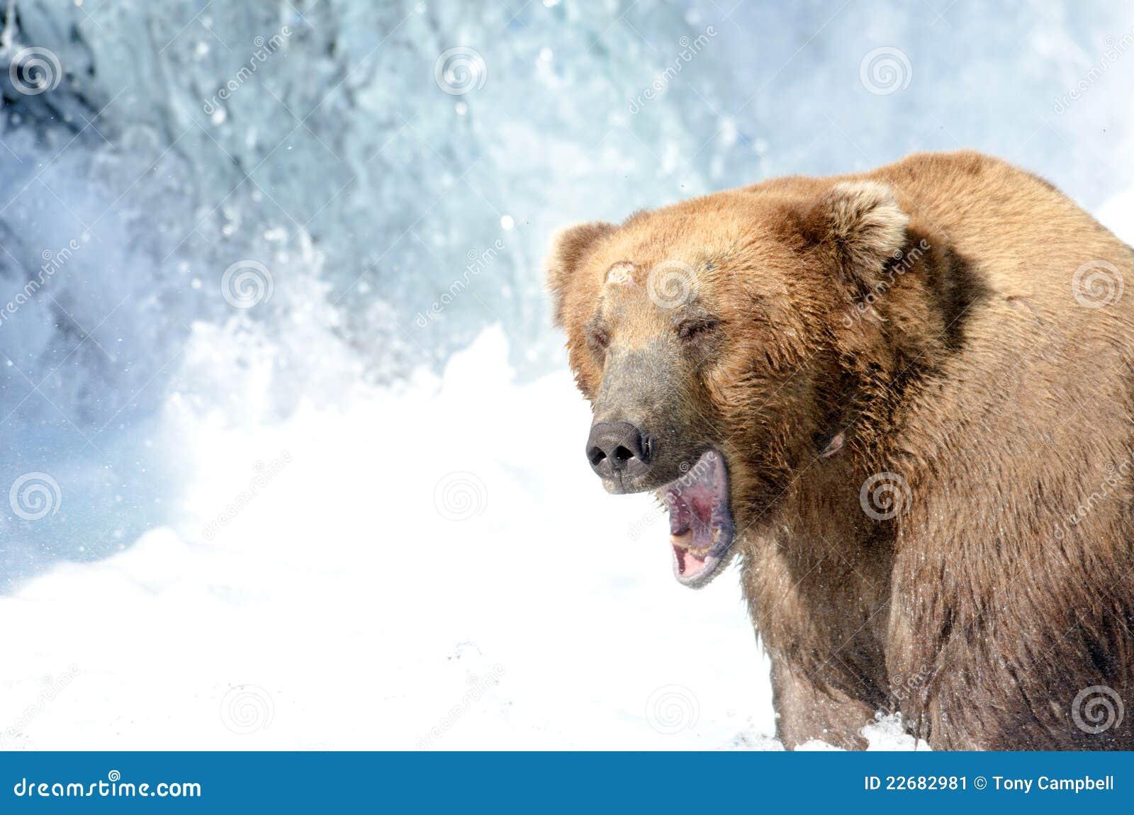 Pesca d 39 alasca dell 39 orso marrone per i salmoni immagine for Affitti cabina grande lago orso