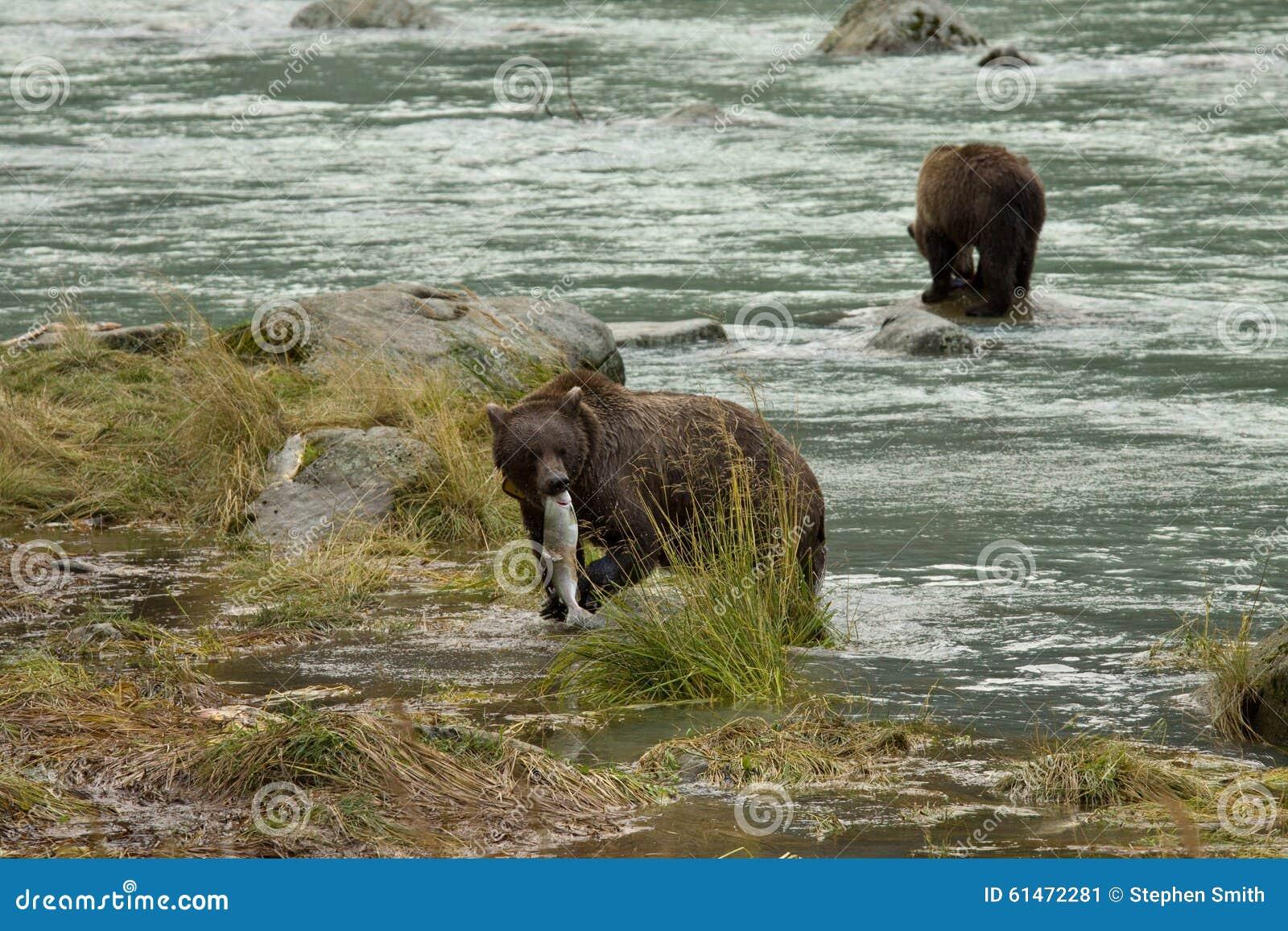 Pesca de Brown Bearx de dois Alaskan para salmões no rio de Chilkoot, Haines, Alaska