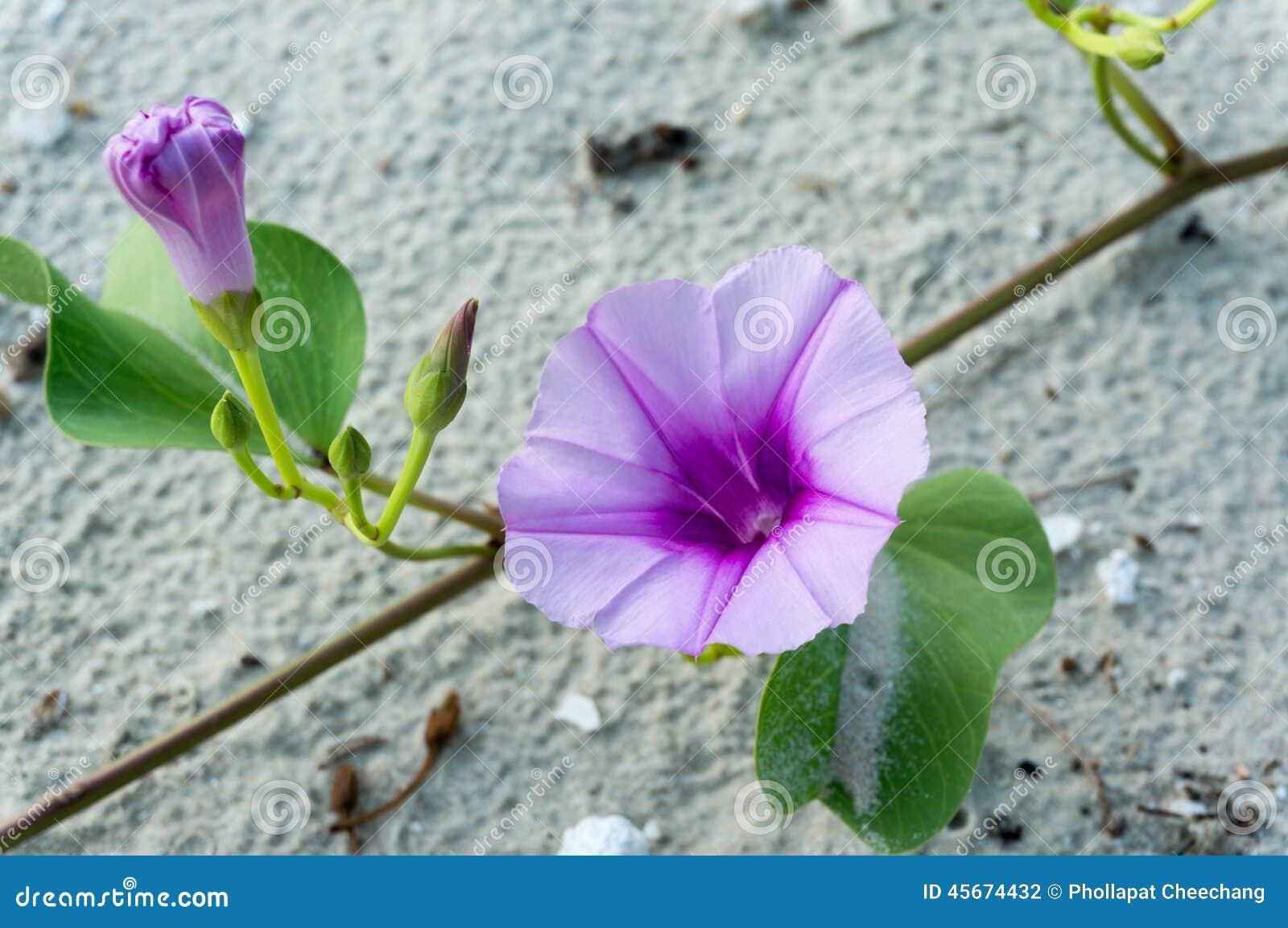 Pesca de la flor o del Ipomoea de la enredadera del pie de las flores o de la cabra del Ipomoea