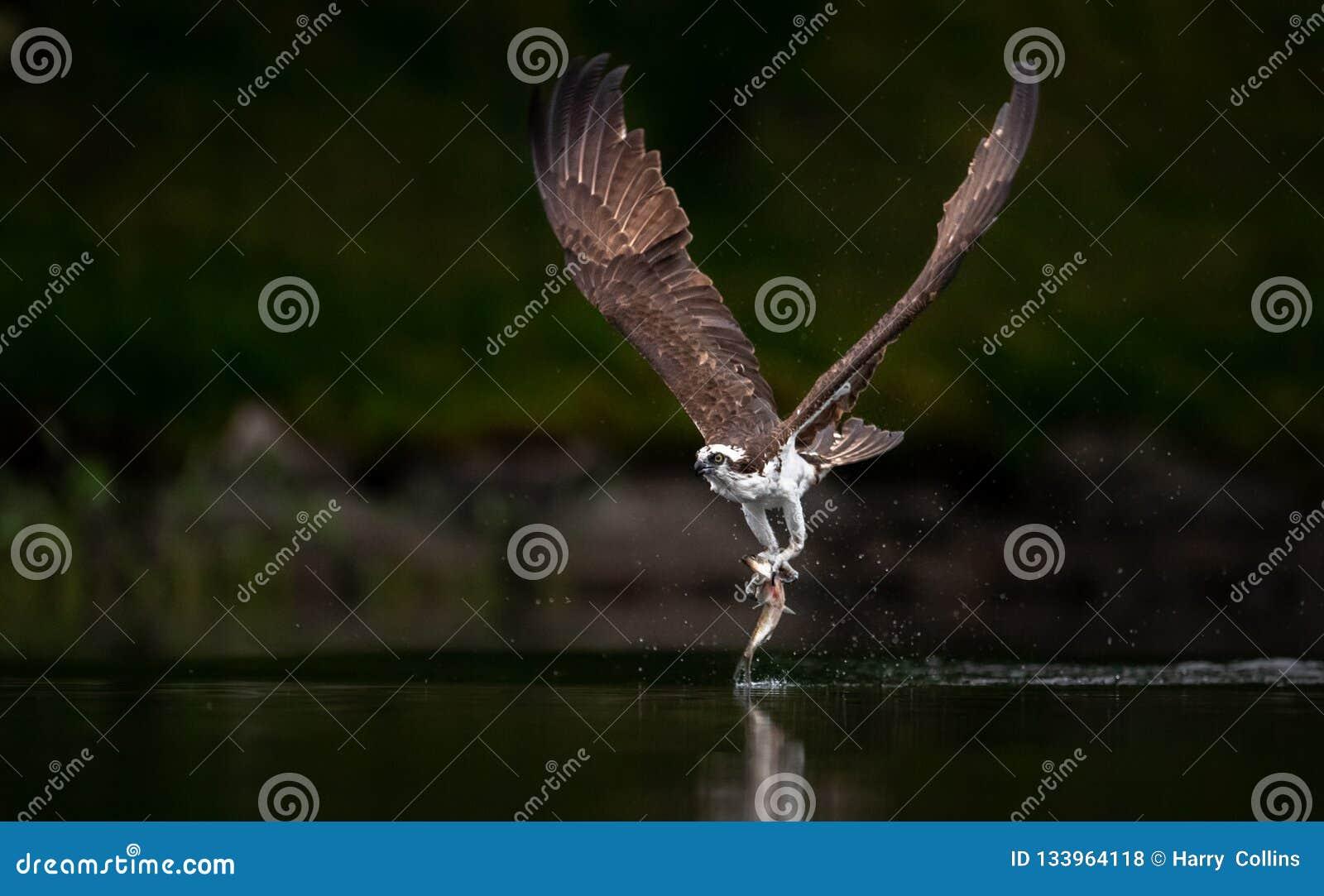 Pesca del falco pescatore in Maine