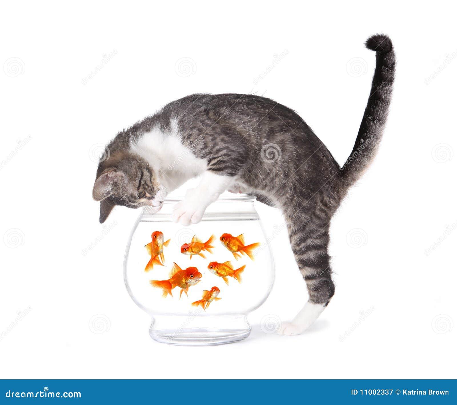 Pesca del gato para los pescados del oro en un tazón de fuente del acuario