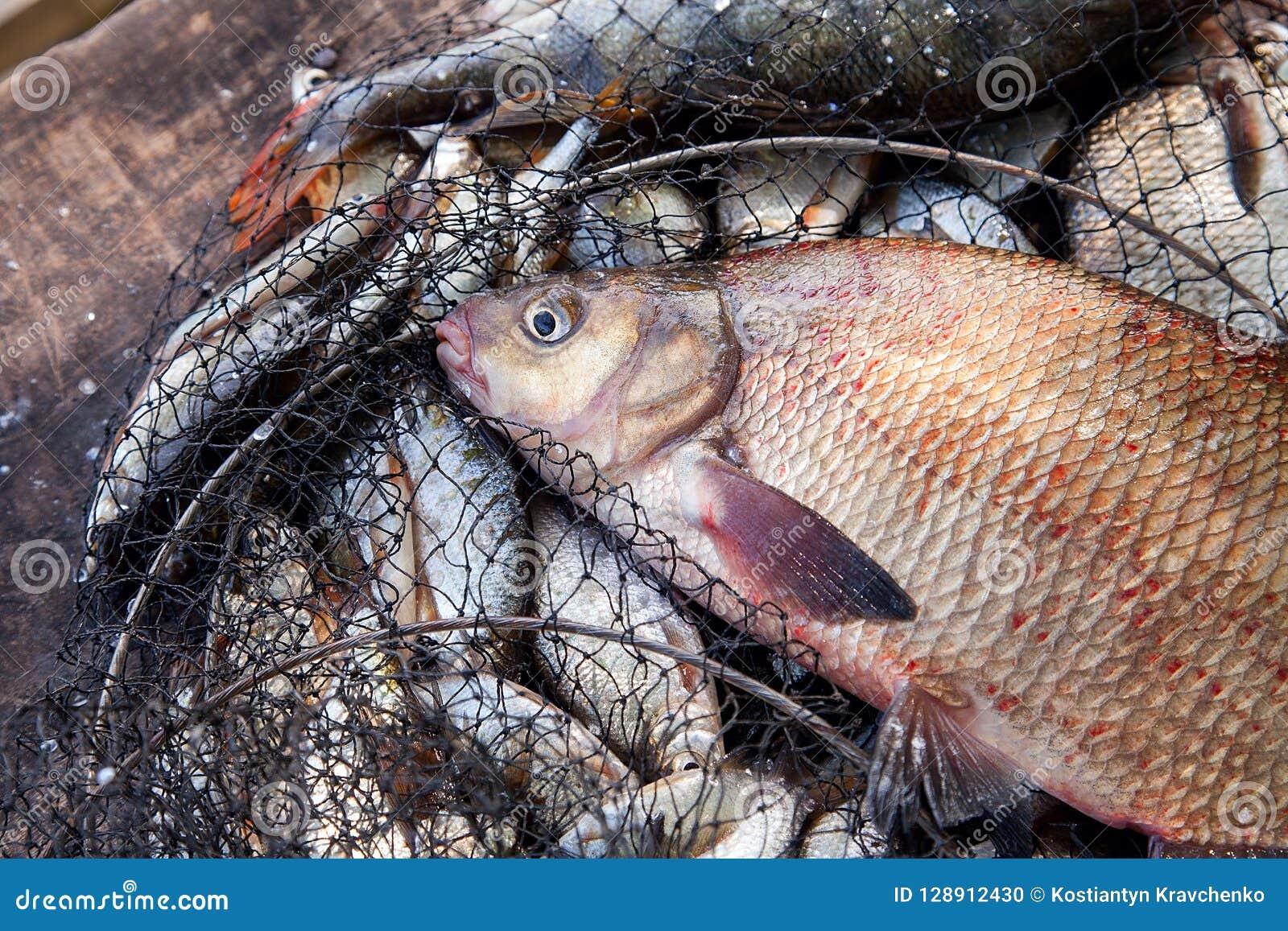 Pesca del trofeo Pescados comunes de agua dulce grandes de la brema en red de aterrizaje