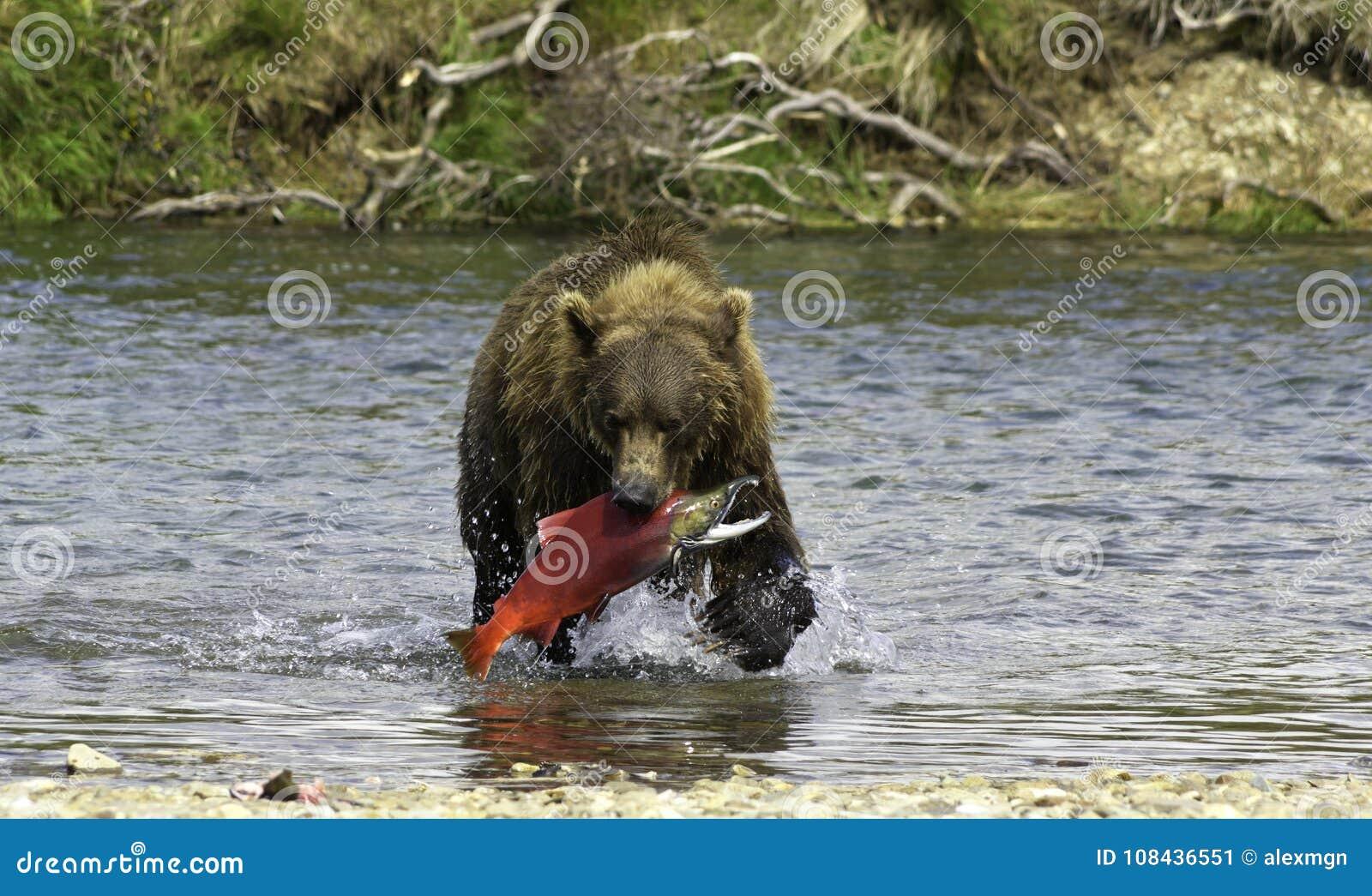 Pesca do Alasca do urso