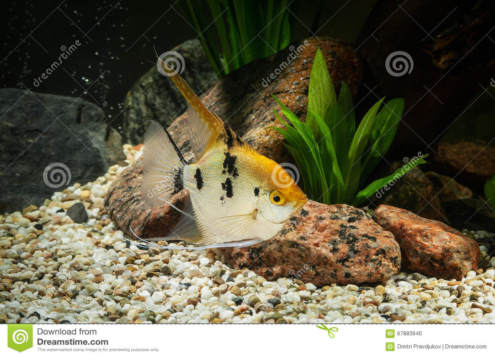 Pescado Angelote en acuario con las plantas verdes, y piedras
