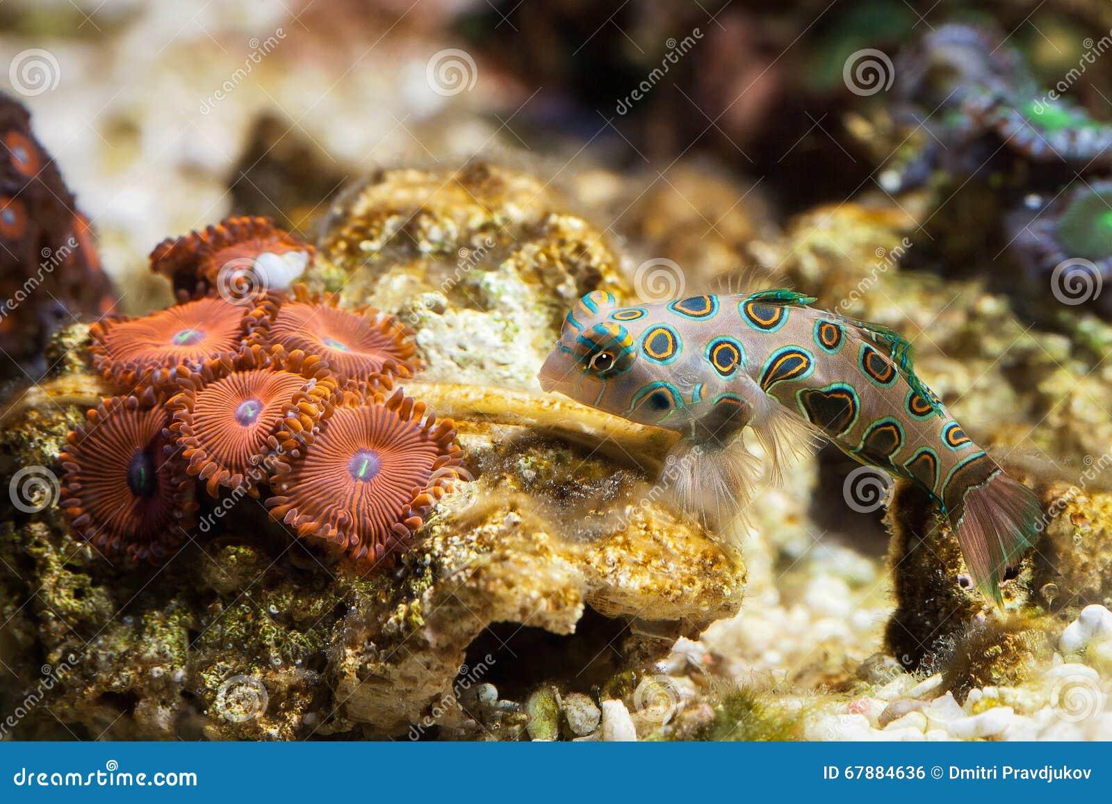 Pescado El mandarinfish de Dragonet (splendidus de Synchiropus) nada encima