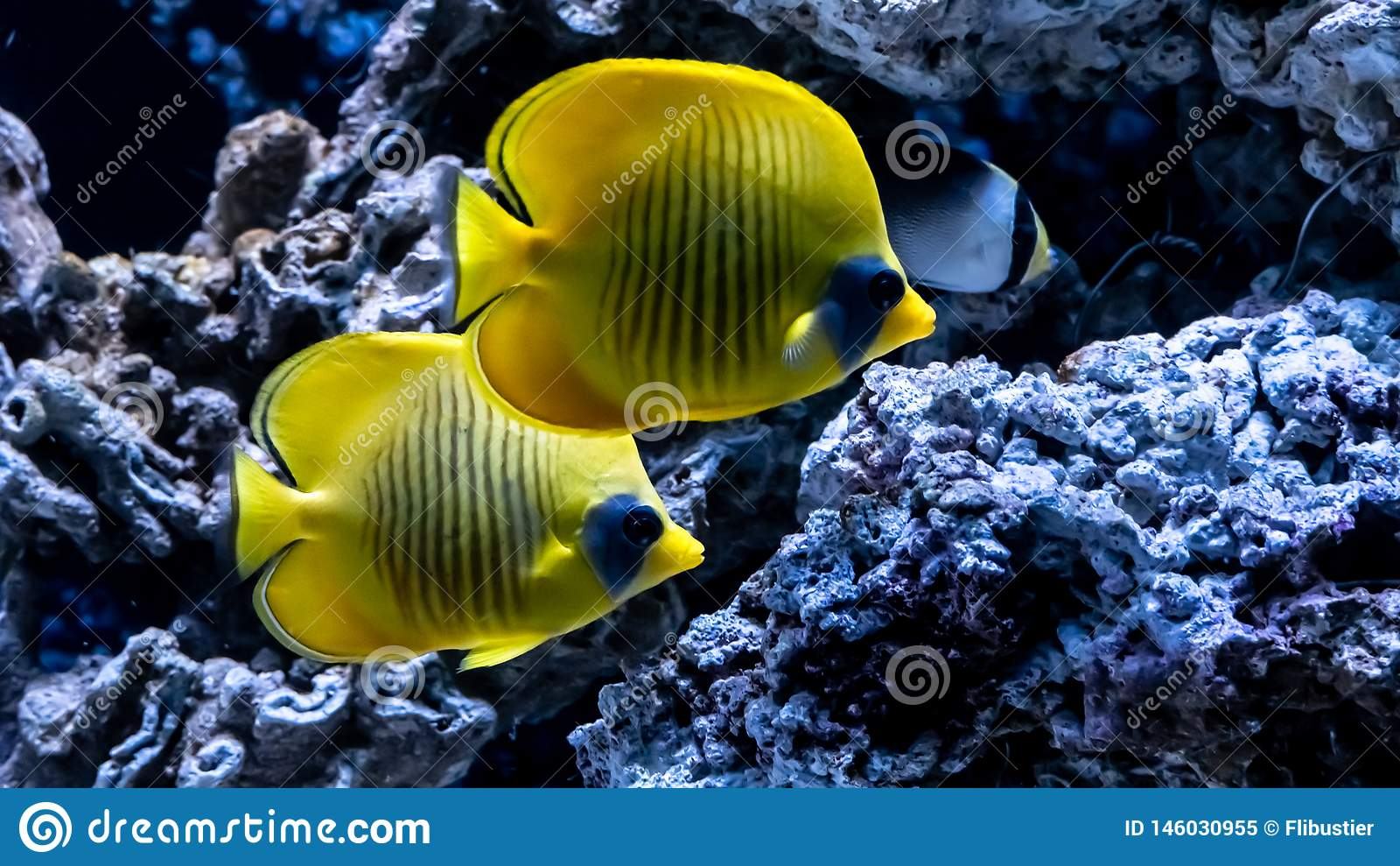 Pescados amarillos brillantes subacu?ticos en el fondo del coral en el Mar Rojo