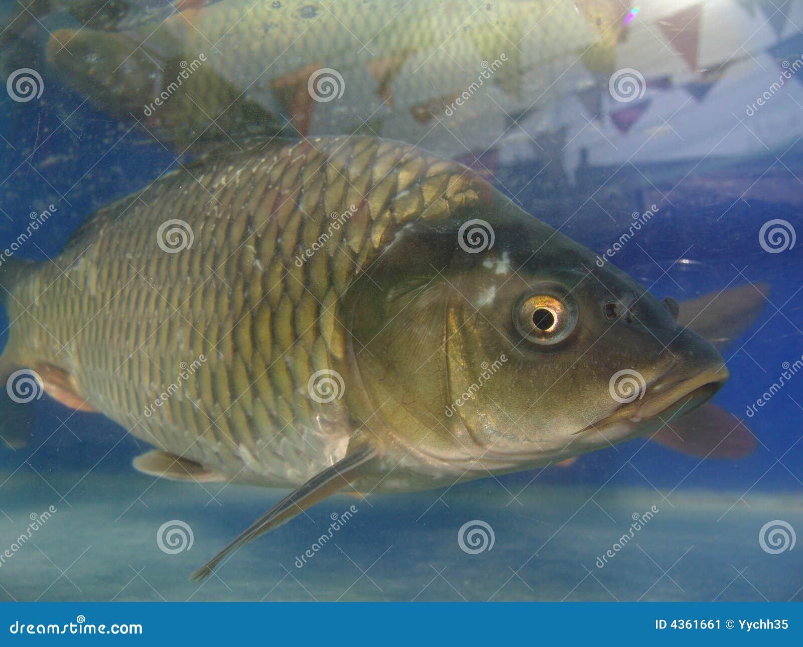 Pescados de agua dulce (cyprinoid)