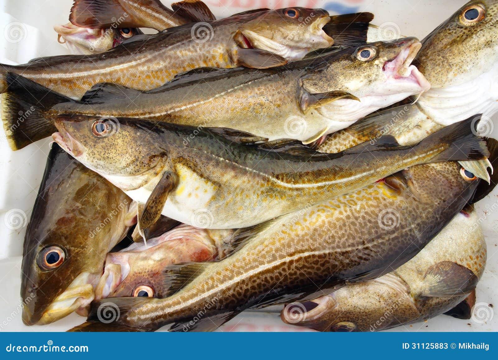 Pescados de bacalao imagen de archivo. Imagen de frescura - 31125883
