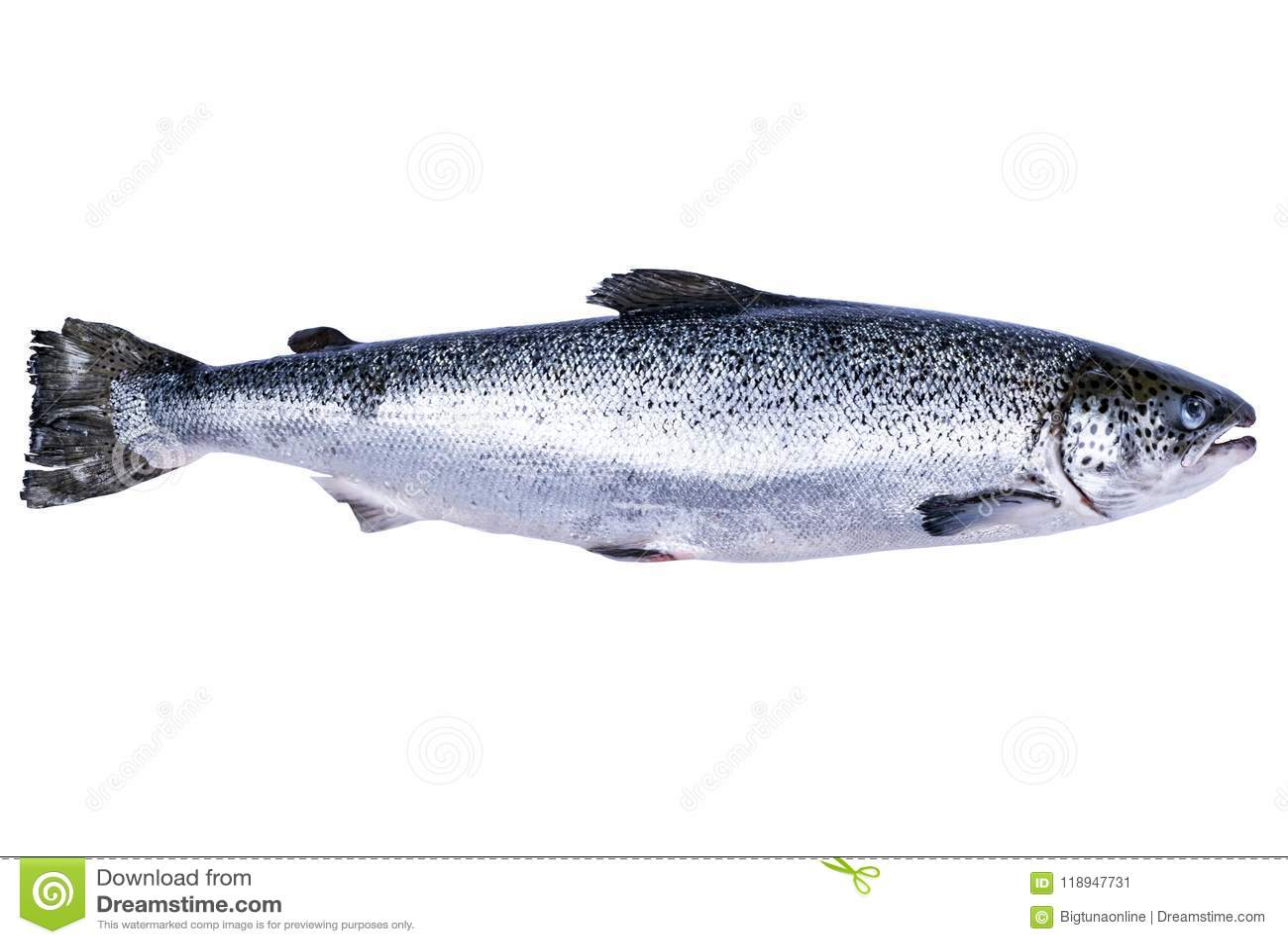 Pescados de color salmón aislados en el fondo blanco Salmones salvajes frescos aislados en un blanco Salmones enteros frescos Esp
