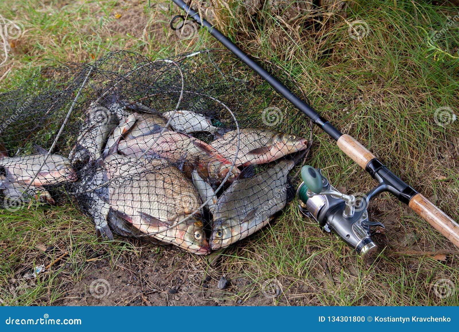 Pescados de la brema de agua dulce y brema de plata en red de aterrizaje con la captura de la industria pesquera en ella y caña d