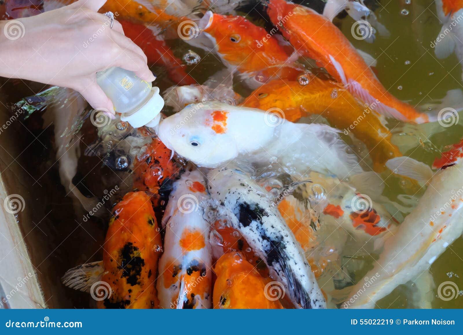 Pescados de la carpa de la alimentación