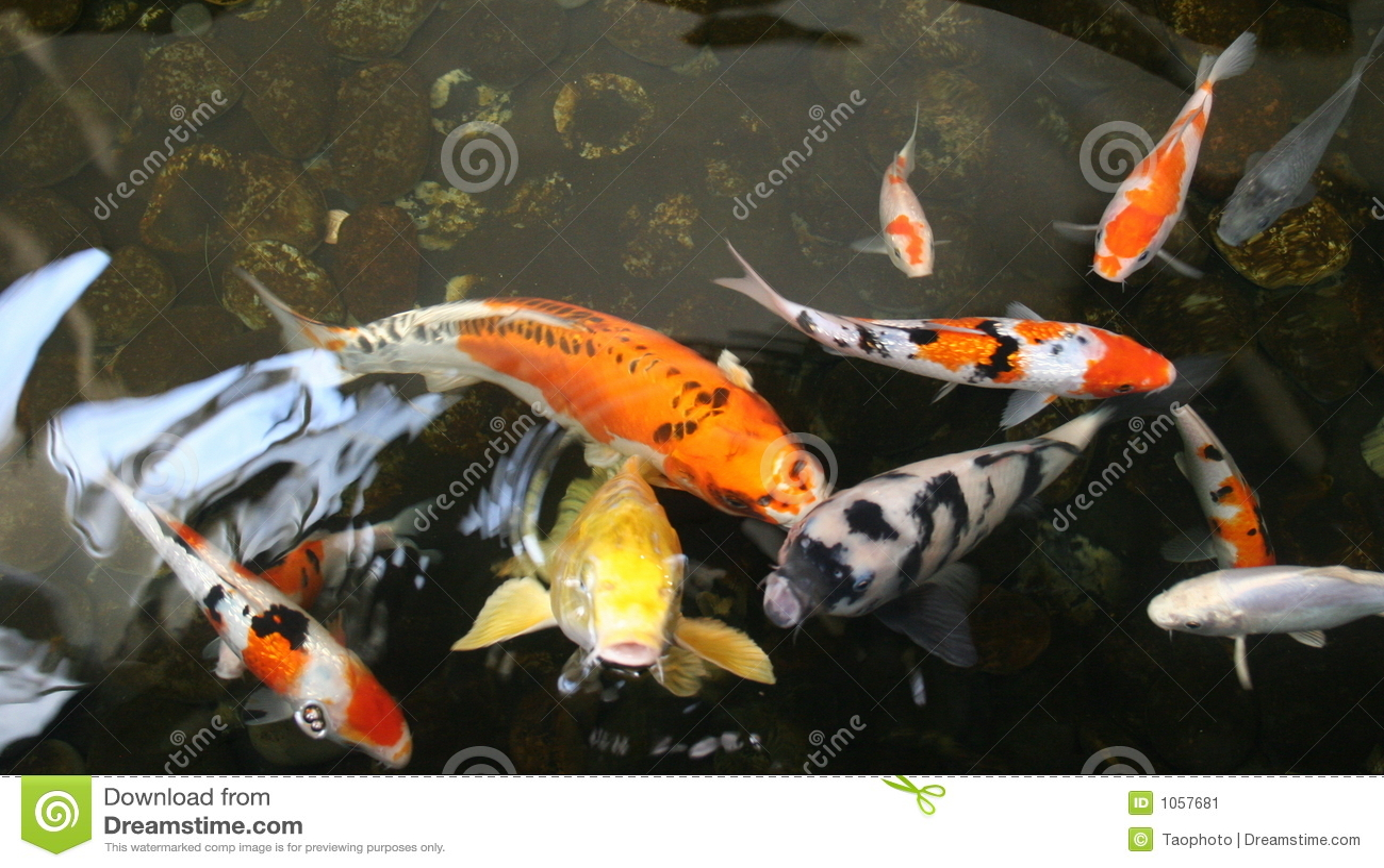 Pescados de la charca imagen de archivo imagen 1057681 for Teichfische arten bilder