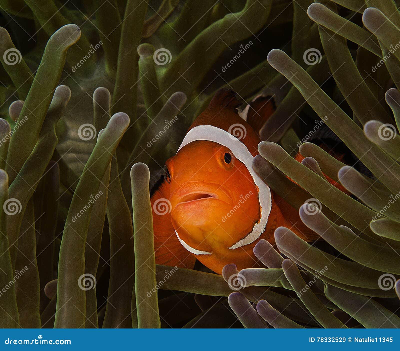 Pescados De Nemo O Pescados Del Payaso En Anémona De Mar Imagen de ...