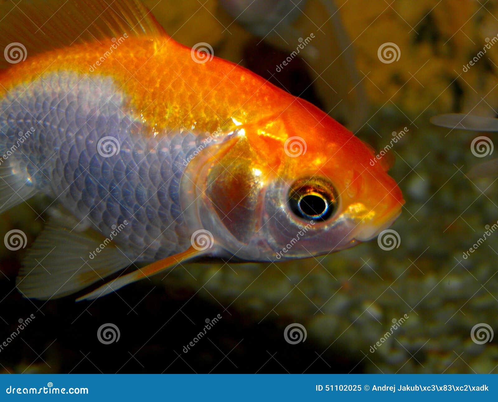 Pescados Del Acuario De Asia Pez De Colores Imagen de archivo ...