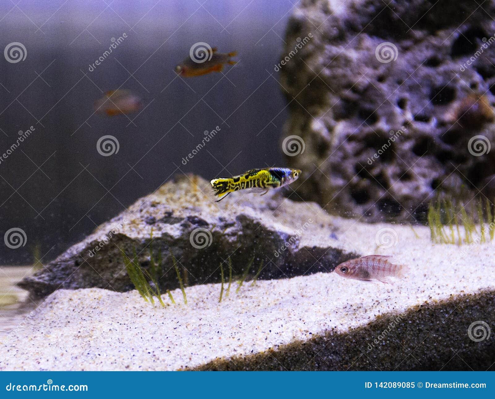 Pescados del guppy de Snakeskin del metal
