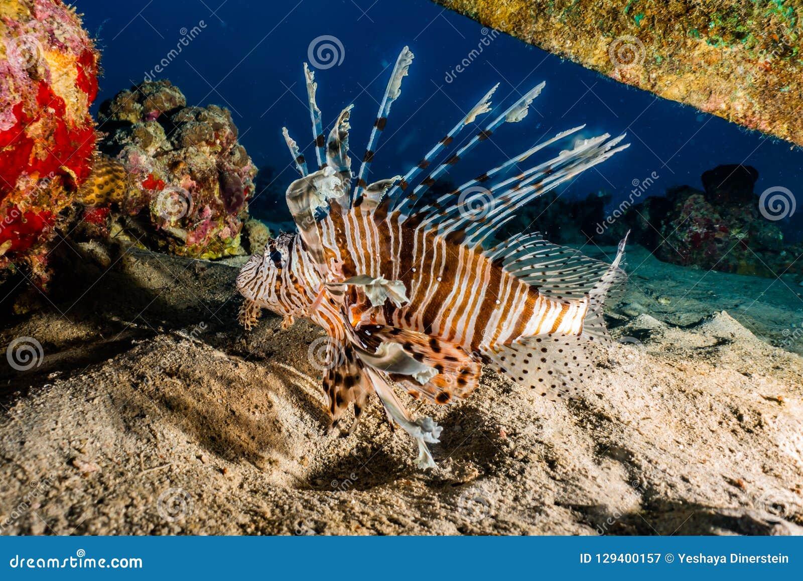 Pescados del león en el Mar Rojo