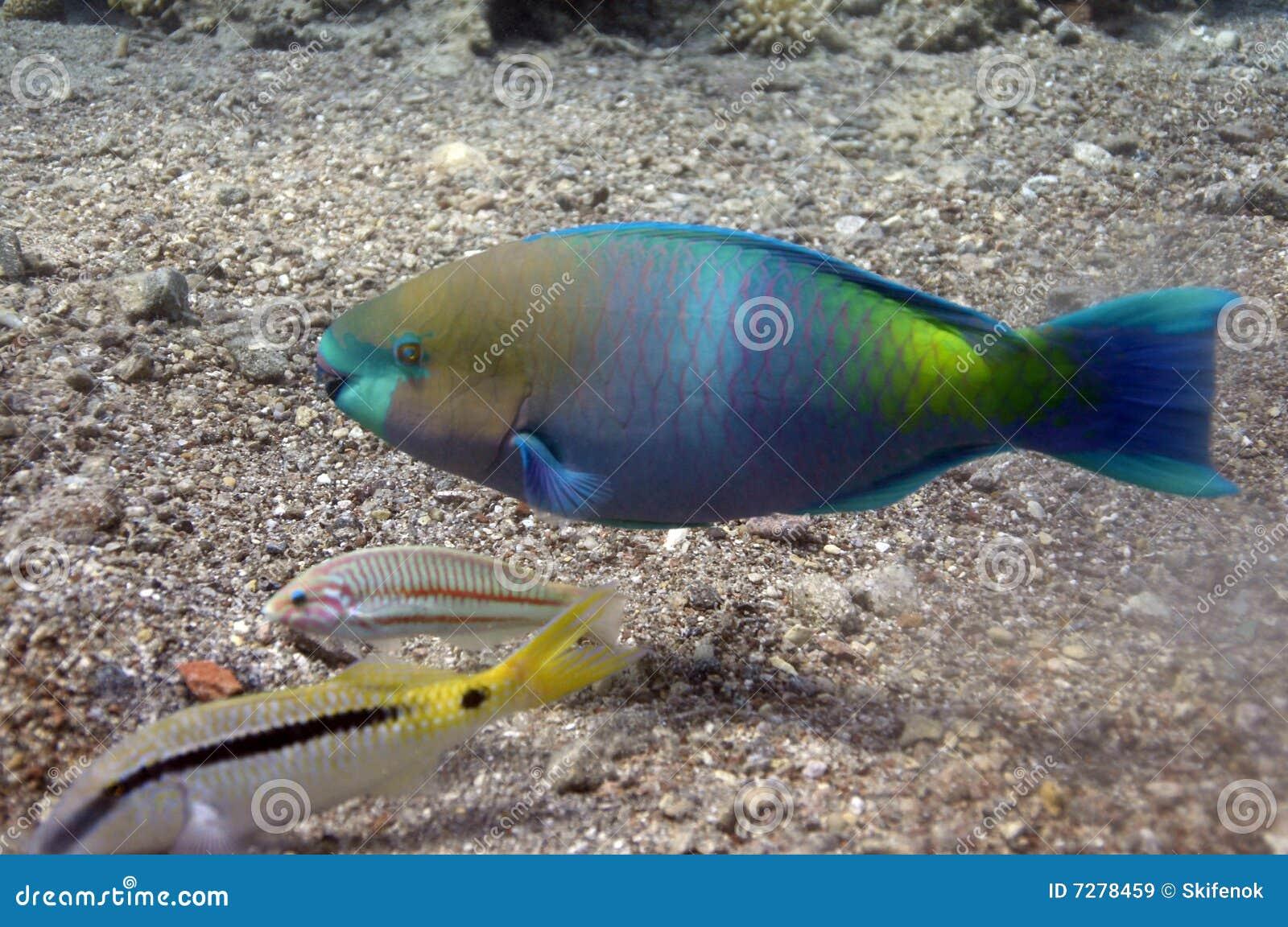 Pescados del loro en el Mar Rojo