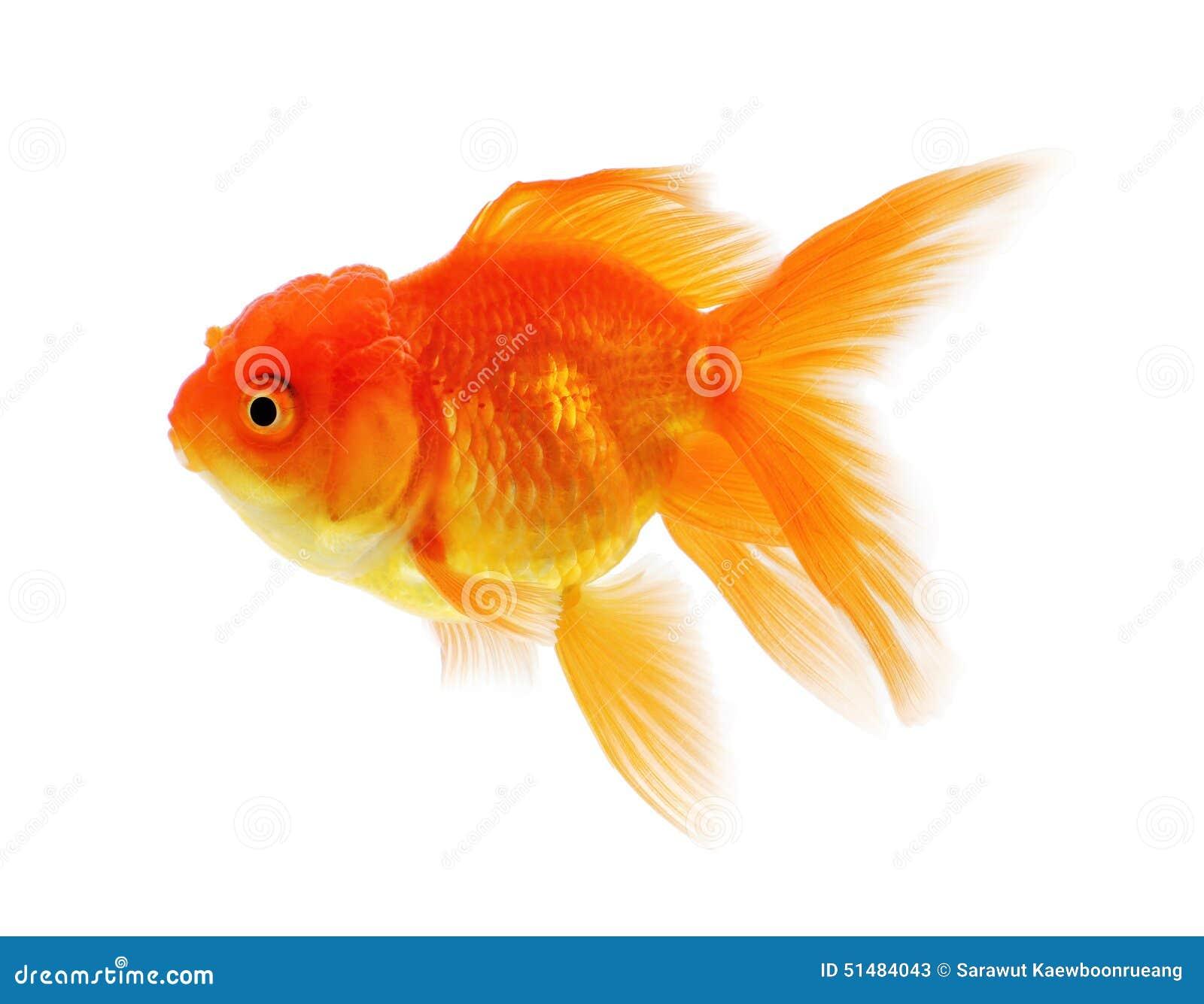 Pescados Del Oro, Aislamiento Del Pez De Colores En El Fondo Blanco ...