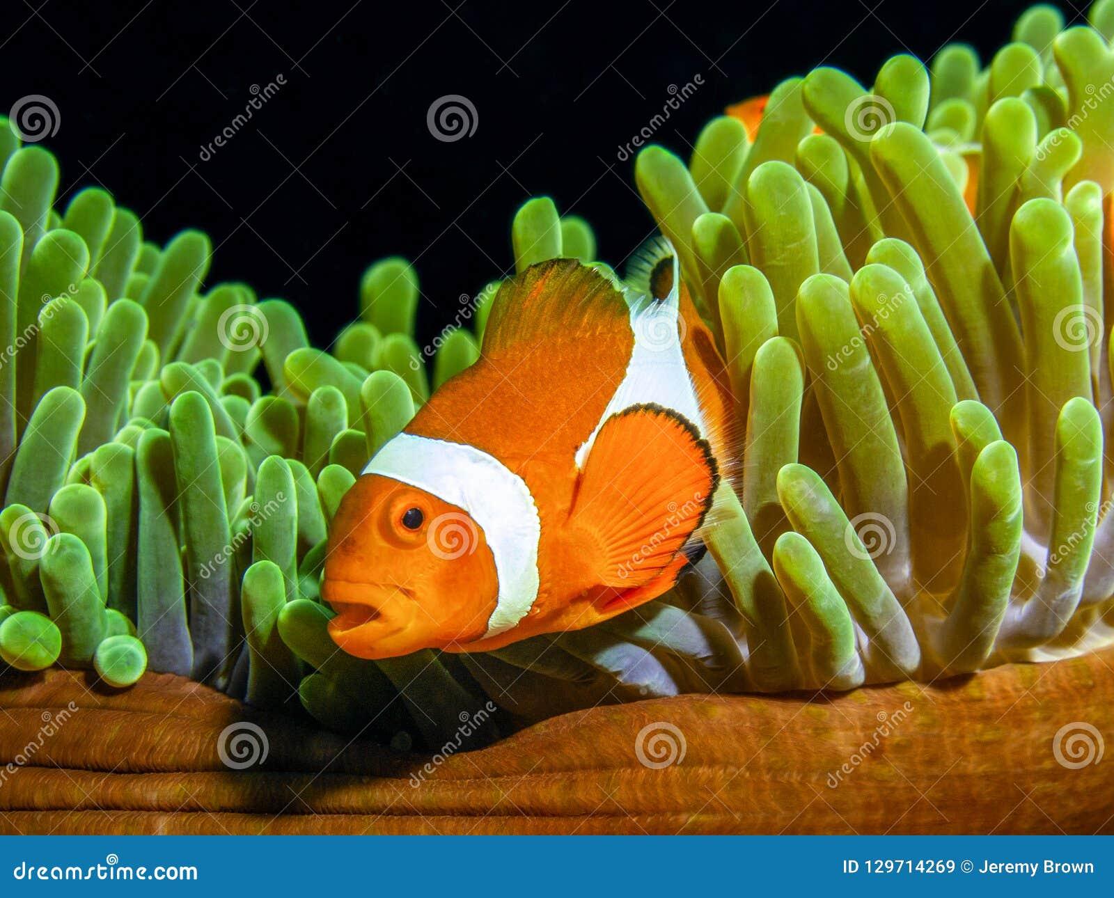 Pescados del payaso de la fama de Nemo, clownfish de Ocellaris