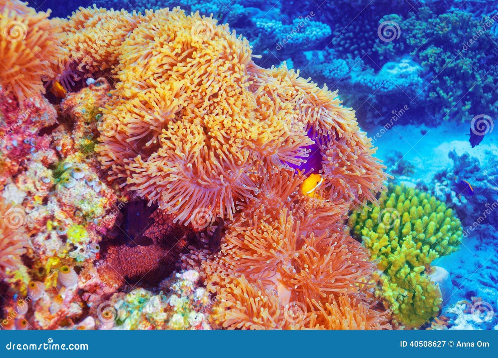 Pescados del payaso en el jardín coralino