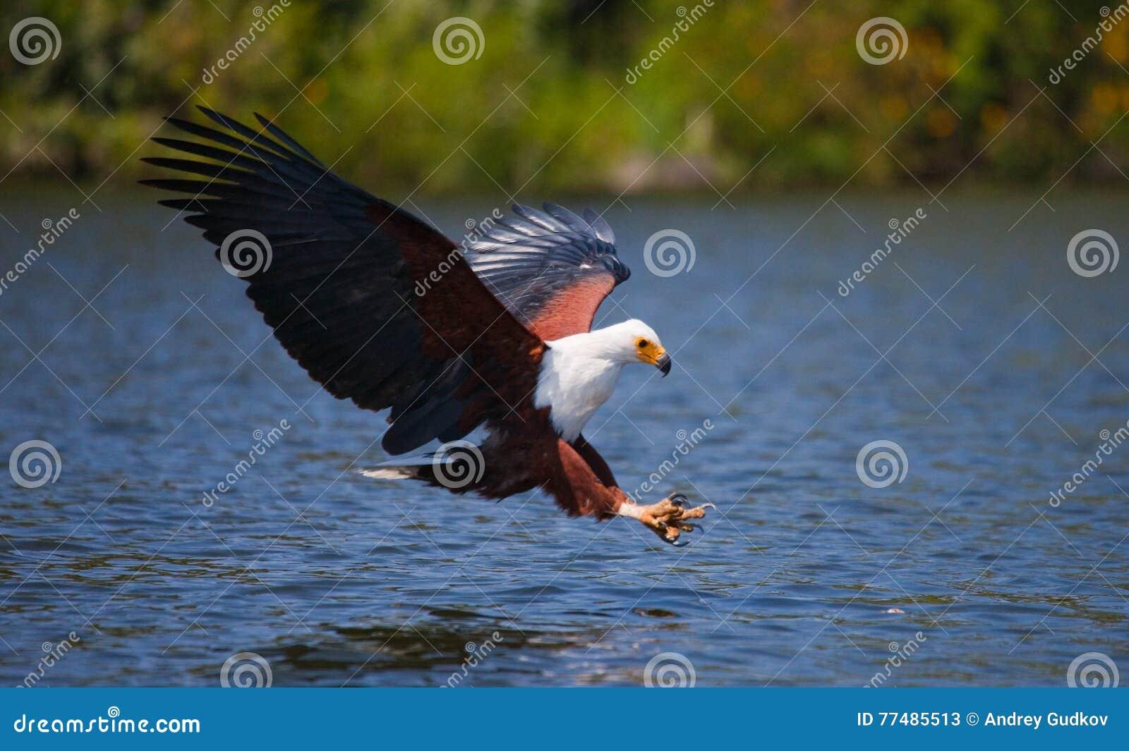 Pescados Eagle africanos en el momento que el ataque en la presa kenia tanzania safari La África del Este