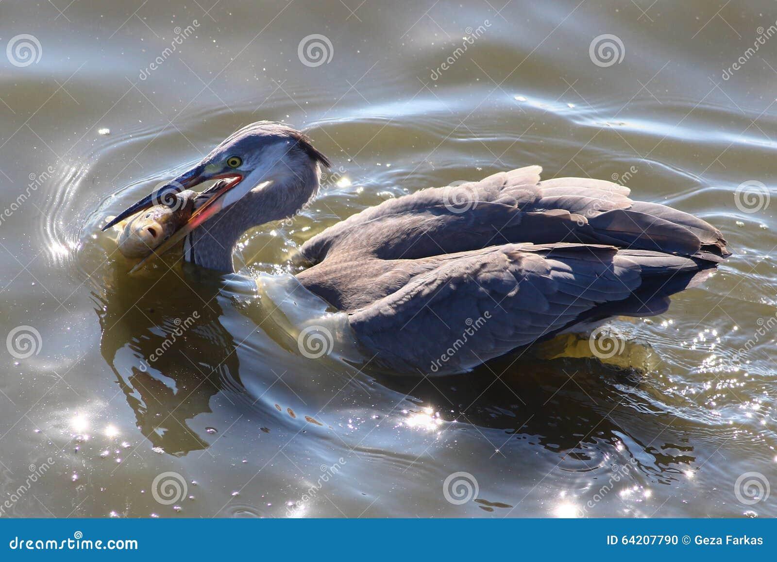 Pescados grandes de la captura de Grey Heron