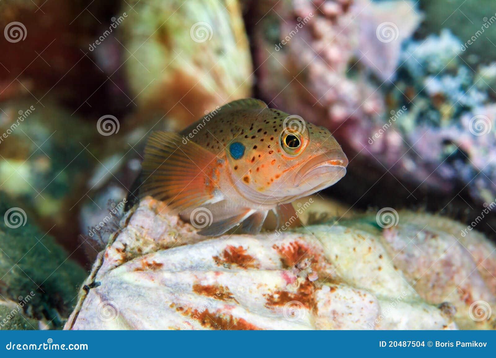 Pescados jovenes en el molusco bivalvo en Mar del Japón