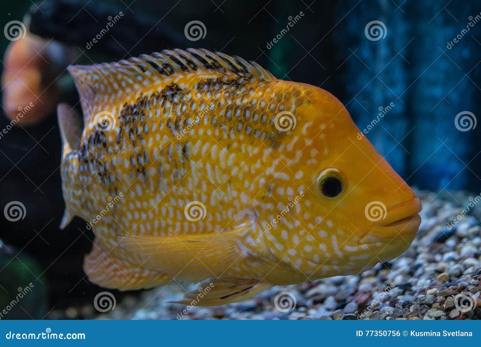 Pescados ornamentales del acuario foto de archivo imagen for Acuarios ornamentales