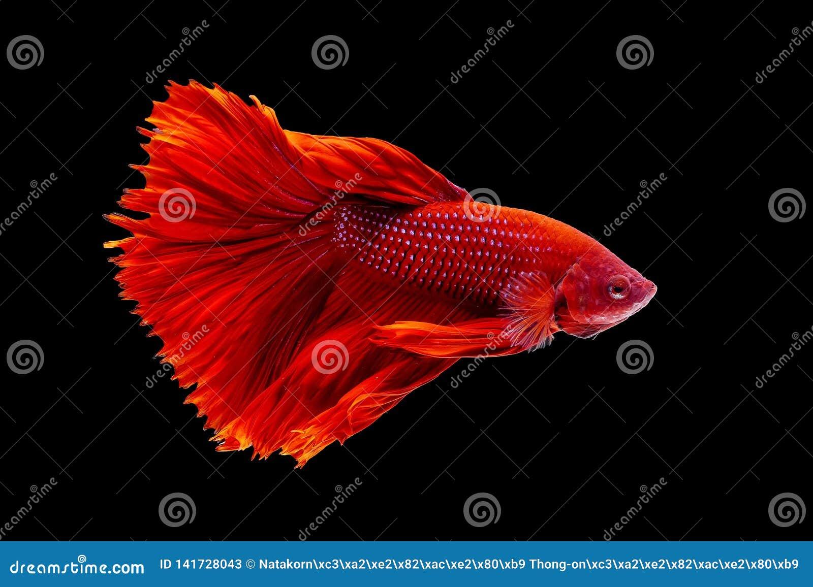 Pescados tailandeses coloridos del betta, betta rojo, pescado agrietado en un fondo negro