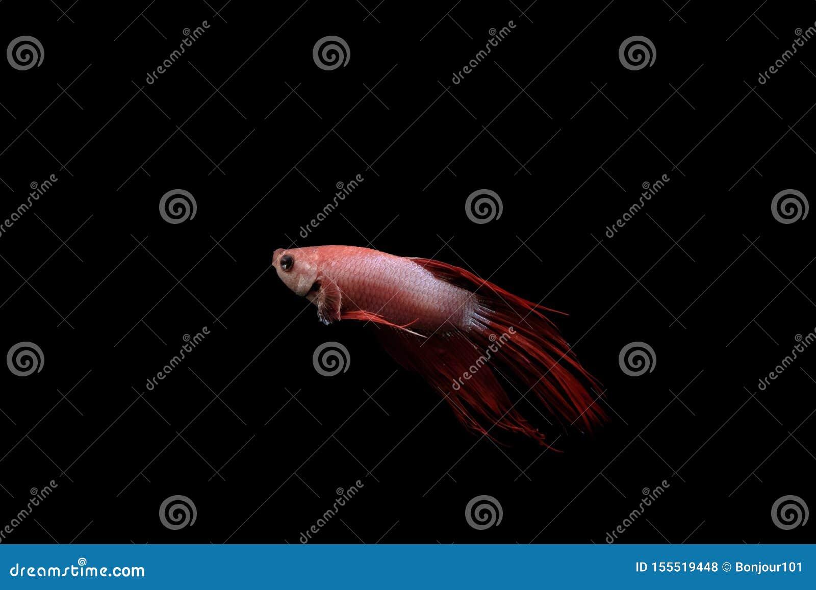 Pescados tailandeses del betta en cuerpo rojo y blanco en un fondo negro